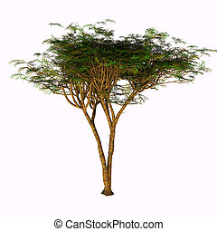 Umbrella Acacia Tree - The Umbrella Acacia Tree is found in...