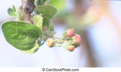 The unopened Bud of apple blossoms closeup. Blooming apple...