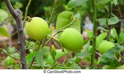 The Unripe green lemons on a branch - Unripe green lemons on...