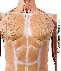 The upper body anatomy