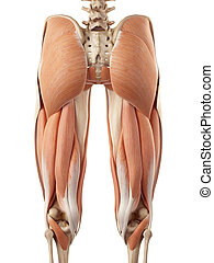 The upper leg muscles - medical accurate illustration of the...