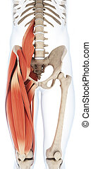 The upper leg musculature - 3d rendered illustration of the...