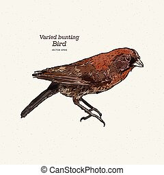 The varied bunting (Passerina versicolor) is a species of ...