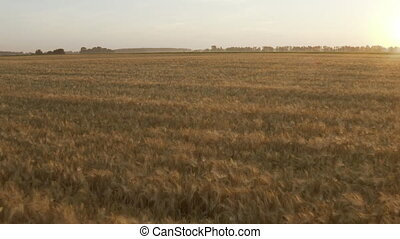 The vast field of grain wheat and barley. Dolly Out of a ...