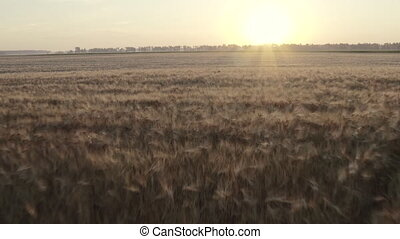 The vast field of grain wheat and barley. Dolly Zoom of a ...