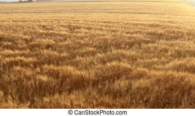 The vast field of grain wheat and barley. Panoramic picture ...