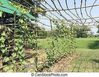 The vegetable marrow in the garden of a farmer