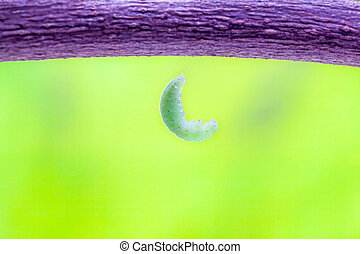 caterpillar - the vegetables kalan there is a green...