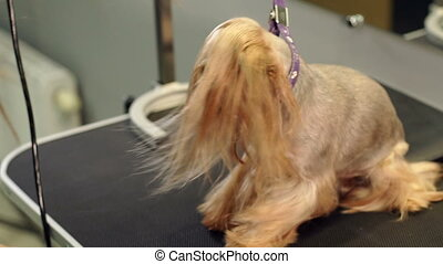The vet dries the dog's hair with a hair dryer and combs the Yorkshire Terrier.