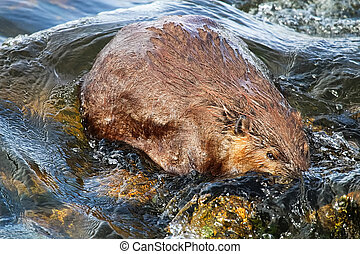 The view of a beaver partically submerged in water