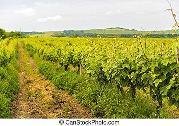 The vineyard culture in Romania