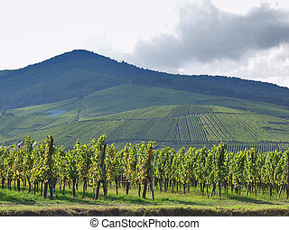 The vineyards of Alsace. France. Expensive wine