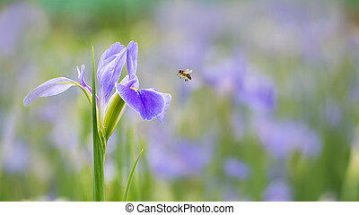 Violet iris flowers (Iris germanica) on blurred green ...