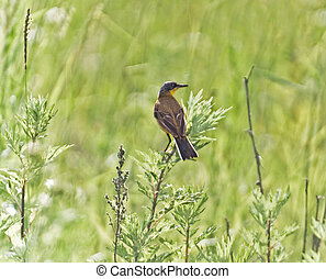 the wagtail - the yellow wagtail, sitting on weed