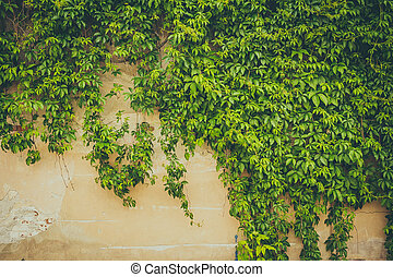 The wall covered by green leaves
