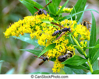The wasps on Goldenrod flower
