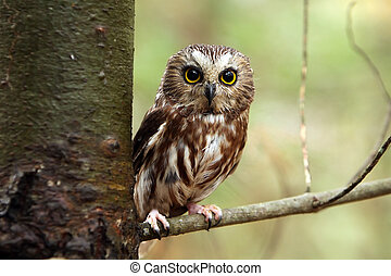 Closeup of a Northern Saw-Whet Owl perching in a tree.
