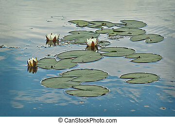 The water lily on the lake. Numphaea candida.