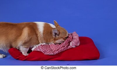 The Welsh Corgi Pembroke stands on a red pillow and sniffs the blanket that lies on it, then licks its lips. Pet in the studio on a blue background. Slow motion. Close up