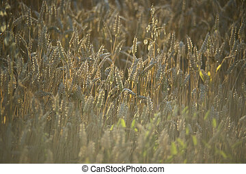 The wheat field ready for harvest