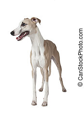 The Whippet dog isolated on white