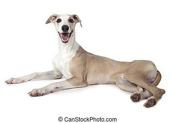 The Whippet dog lying over white