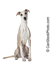 The Whippet dog