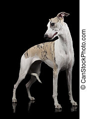 the whippet on a black background