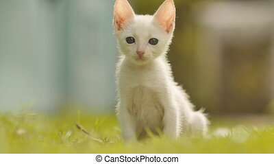 The white asian and thin kitten runs on a grass.