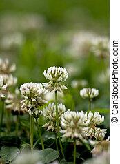 The white clover (Trifolium repens).