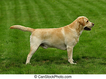 The white dog costs sideways on a lawn