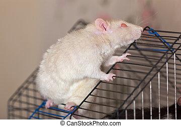 The white domestic rat
