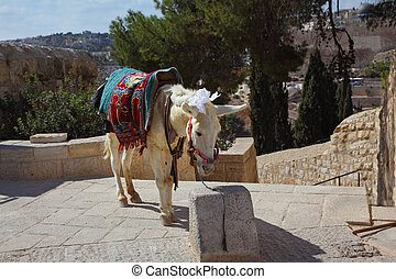 The white donkey in an ancient harness poses for tourists. Jerusalem, Christian quarter
