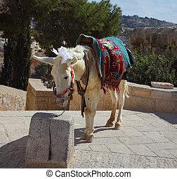 The white donkey in Jerusalem