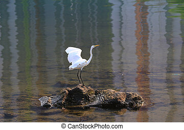White egret bird - the White egret bird at coast