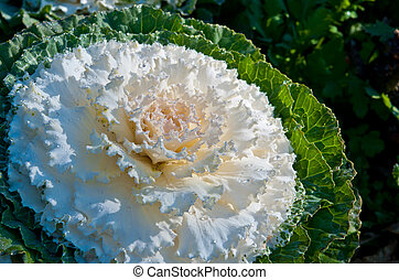 The white Flowering Cabbage and Kale or Ornamental Cabbage ...