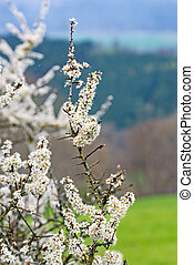 White flowers in the spring on the tree