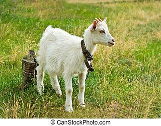 The white goat