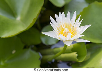 the white lotus or water lilie in the pond with the sunlight...