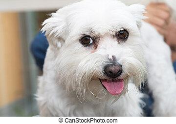 The white Maltese dog