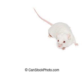 mouse - The white mouse. Isolated white background