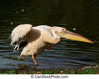 The white pelican unfurled its wings and stood on one foot on the shore with a pond.