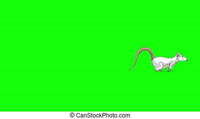 The white rat runs animation Chroma Key