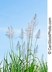 The White reeds on blue sky background