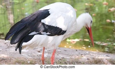 The white stork Ciconia ciconia is a large bird in the stork family Ciconiidae. A carnivore, the white stork eats a wide range of animal prey, including insects, fish, amphibians, reptiles, small mammals and small birds.