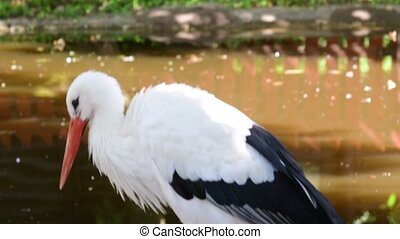 The white stork Ciconia ciconia is a large bird in the stork family Ciconiidae. A carnivore, the white stork eats a wide range of animal prey, including insects, fish, amphibians, reptiles, small mammals and small birds