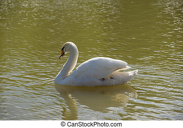 The white swan floating on a pond