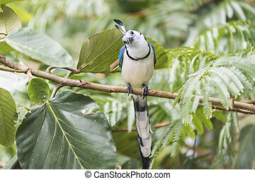 White throated magpie jay on the branch in the tropical forest