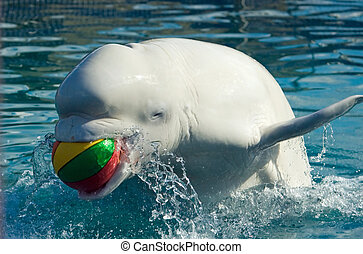 The white whale plays a basketball ball