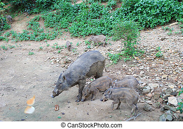 Wild boar out in the open - the Wild boar out in the open
